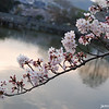 Sakura and Lake.<br /> At Nagaoka Tenmangu Shrine Park.