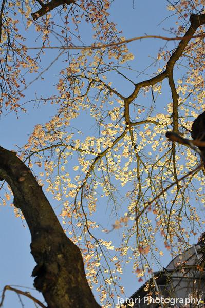 Looking up at the Sakuras.