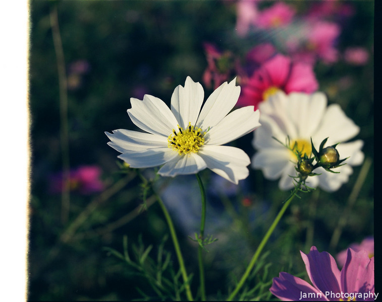White Cosmos.<br /> This was from the first shot of the roll and it got clear on the edge. Crop it if you want to make a print.<br /> Note Film Shot: Mamiya RB67 & Mamiya-Sekor 90mm f/3.8 Lens Fujicolor PRO400 Film.