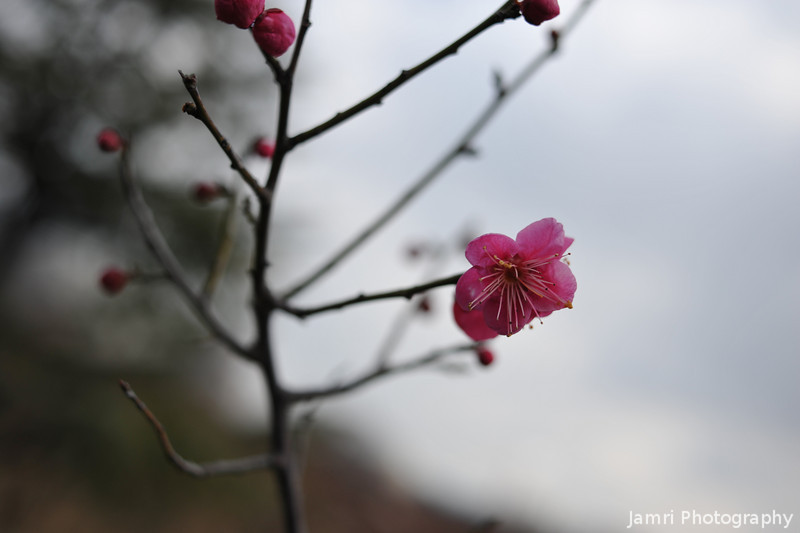 Pink Ume (Plum) Blossom.<br /> The first of a batch from a little trip I made out to Osaka-jo (Osaka Castle) to see the plums in bloom in it's famous plum garden.