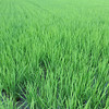 Green Field.<br /> Noting like warm rainy humid weather to bring out the green!