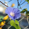 Blue Morning Glory Growing on a Fence.