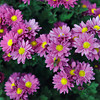 Rich Blooms.<br /> Chrysanthemums.