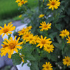 More Yellow Flowers.<br /> Not sunflowers this time, but a similar colour.