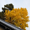 Ginkgo and Pine.<br /> At the Kyoto Imperial Palace.