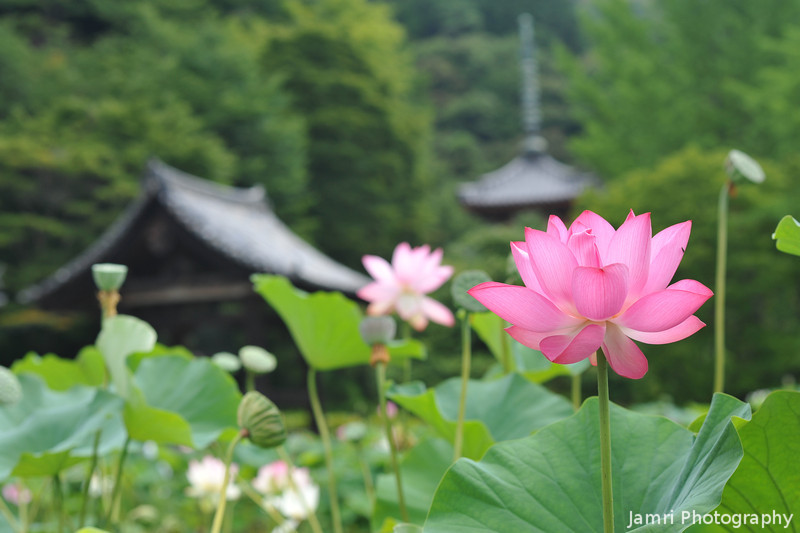 Lotuses and Buildings.<br /> At Mimuroto-ji (a Buddhist Temple) near Uji, Kyoto.
