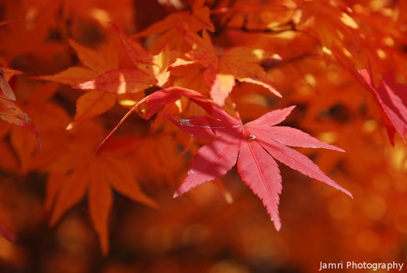 The Peak of Autumn Colour, one day before winter!<br /> At Komyo-ji (a Buddhist Temple) in Nagaokakyo.