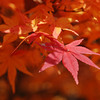 The Peak of Autumn Colour, one day before winter!<br /> At Komyo-ji (a Buddhist Temple) in Nagaokakyo.