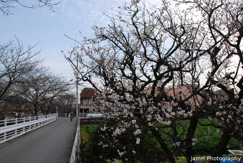 Ume and the Road.<br /> The Ume (Plum) Blossoms (right) and the road. On the far left are Sakura (Cherry) Blossom trees still about a month and a half away from blooming.