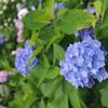 Up close to a blue hydrangea.