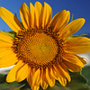 Sunflower.<br /> Now the rainy season has gone it's time for the sunflowers.<br /> Note: Circular Polarising Filter Used.