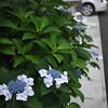 Hydrangeas in the Back Streets.