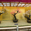A Wider View of the Bonsai Ume.