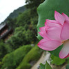 Lotus and the path to the pagoda.<br /> At Mimuroto-ji (a Buddhist Temple) near Uji, Kyoto.