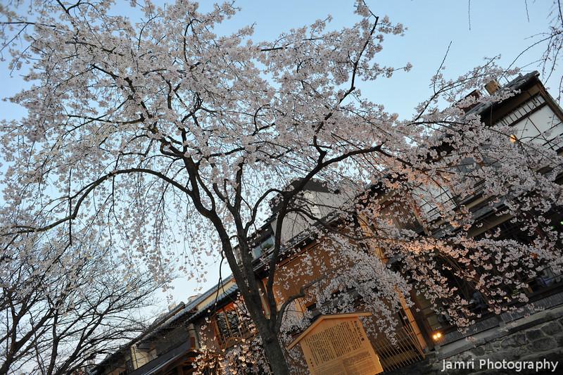 A wide view of a Sakura.
