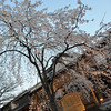 A wide view of a Sakura.