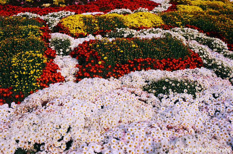 Chrysanthemum Bed 1.<br /> Note Film Shot: Nikon F80 + 35f/2 Lens + Kodak Ektar 100