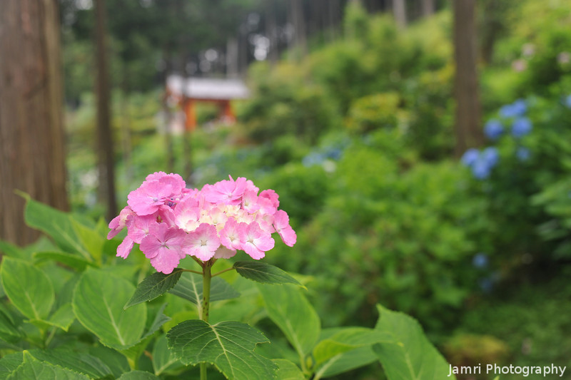 Pink Hydrangea and Temple Gate.
