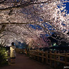 Under the Lit Up Canopy.<br /> Of Sakura at Nagaoka Tenmangu Shrine.