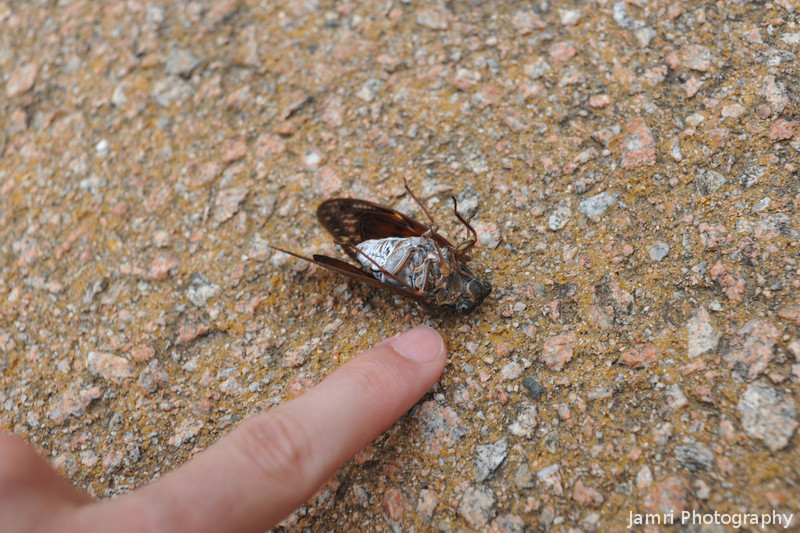 A Dead Cicada.<br /> These are not even the biggest kind you can find in Japan. Cicadas in Japan are huge and loud! When they fly you can mistake them for small birds!