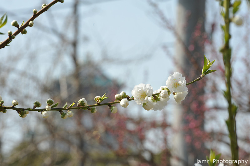 Peach (Momo) Blossoms with the Castle in the Background.<br /> At Osaka Castle Park (Osaka-jo Koen).