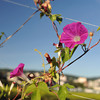 Pink Morning Glory at f/5.6