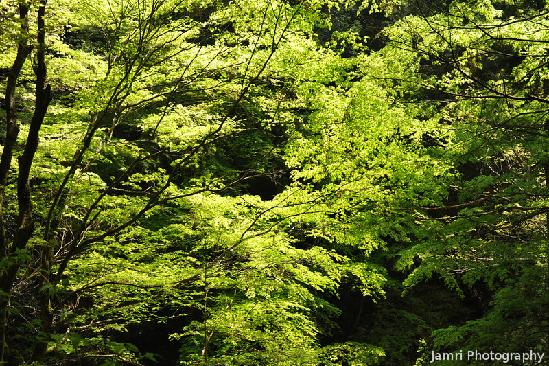 Fresh Spring Leaves.<br /> There were plenty of Fresh Spring Leaves out at Kurama.<br /> Note: Circular Polarising Filter Used.