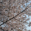 Big Sakura.<br /> At Osaka Castle Park.