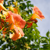 Orange Flowers.<br /> The colours of the creepers people grow for sun defence!