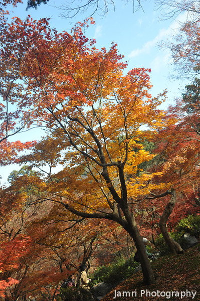 Autumn Colour Flame.