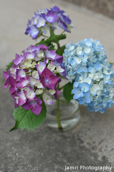 "Our ""Miracle"" Hydrangeas outside."