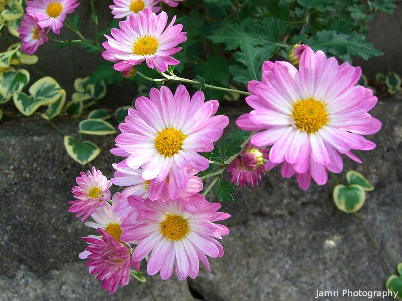 Pink and White Chrysanthemums.