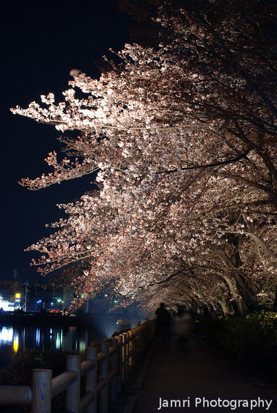 Lit up Tree.<br /> At the Nagaoka Tenmangu Shrine Park, Sakura light up.