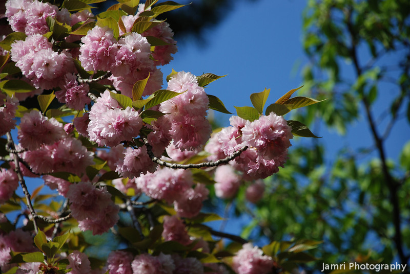 Pink Blooms.<br /> Not sure what kind of flowers these are, something related to Sakura I think.
