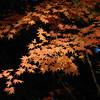 Orange Against Black.<br /> A branch of Maple Leaves catching the Sunlight, against a background of shady evergreens in the forest.<br /> At Komyo-ji (a Buddhist Temple) in Nagaokakyo.