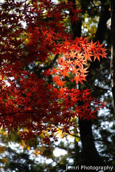 Splash of Colour in the Dark Forest.<br /> At Komyo-ji (a Buddhist Temple) in Nagaokakyo.