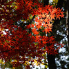 Splash of Colour in the Dark Forest.<br /> At Komyo-ji (a Buddhist Temple) in Nagaokakyo.