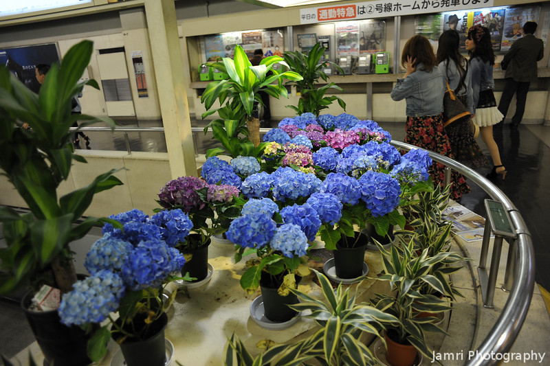 Hydrangeas.<br /> Although a little early these ones where sitting under a glass section of roof at Hankyu Umeda Station, thus the early blooming.