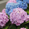 With the Road Below.<br /> These Hydrangeas are right on the edge of an embankment where the road goes low for an underpass. The white line in the top left corner is bike lane marker on the road below.