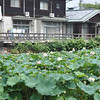 Lotus Patch and House.<br /> At Nagaoka Tenmangu Shrine Park, In Nagaokakyo, Japan.<br /> Note the house is not in the Shrine Park, just next to it, one of the most expensive areas to live in town.