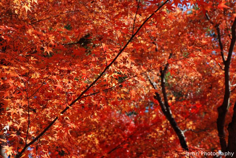 Maple Colours.<br /> At Komyo-ji (a Buddhist Temple) in Nagaokakyo.
