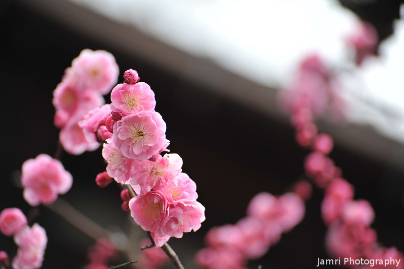Up Close to the Pink Ume (Plum) Blossoms.