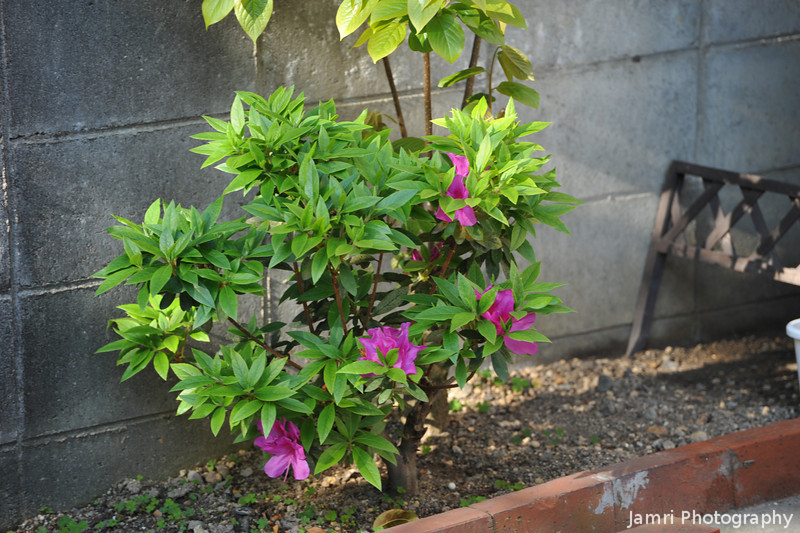Our Azalea Bush.<br /> Last year this bush didn't flower so we had no idea what it was, this year we found out it's an azalea.