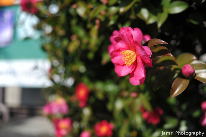 A Camellia in Bloom.<br /> The camellias started blooming a little earlier than usual this winter. This winter has been colder than the last two.