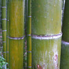 Rain Coated Bamboo.
