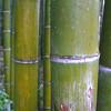 Rain Coated Bamboo.