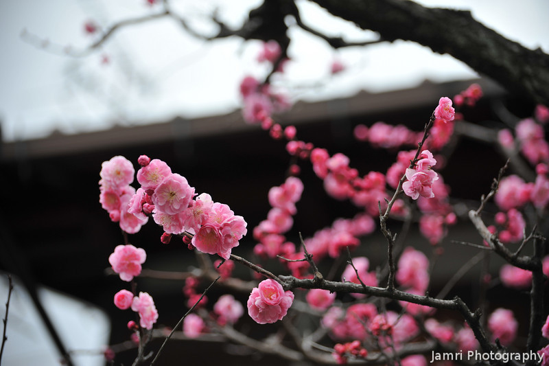 Plum Blossoms and a Traditional House's Roof Top.