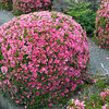 Still in Bloom in June.<br /> The cooler weather this year has prolonged the Azaleas.