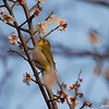 Bird in a Plum Tree 2.<br /> I'm glad I brought the 70-300VR lens on this outing, it's the only lens in my kit that's auto-focus motor can keep up with these little birds.