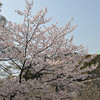 A Huge Sakura by the Castle Walls.